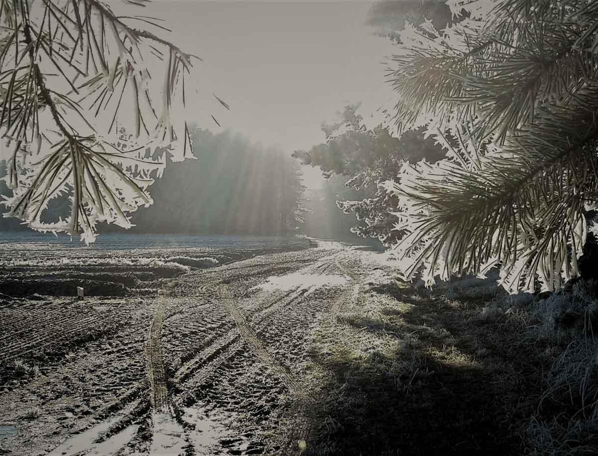 Kälte - Kiefern im Spargelland