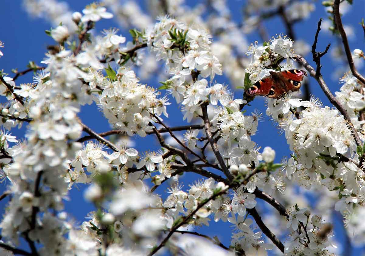 Tagpfauenauge auf Mirabellenblüte IMG_7621
